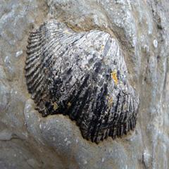 fossiel schelp, Polranny Pirates ©www.anniewrightphotography.com