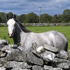 pony (4) thumbnail
