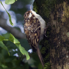 Tree creeper.thumbnail
