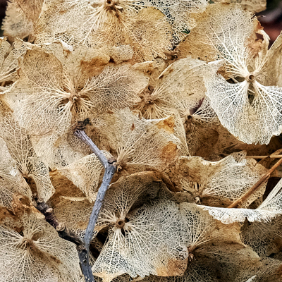 AnnieWrightPhotography-hydrangea-skeletons