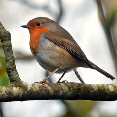 Anniewrightphotography-robin