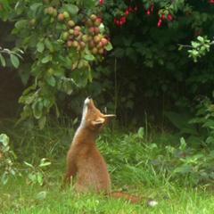 Jantje vos zag eens