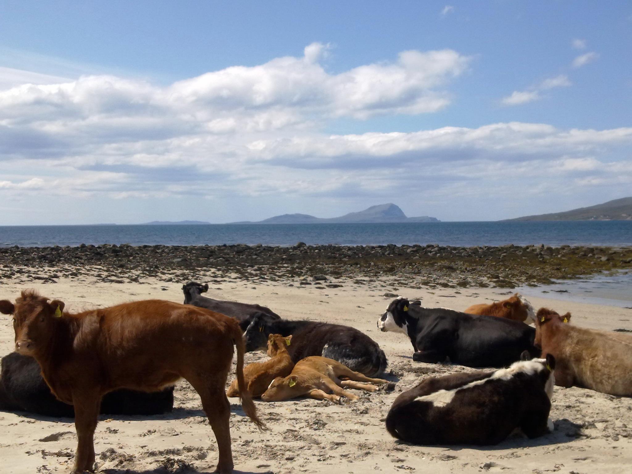 Mulranny Beach met Ierse koeien